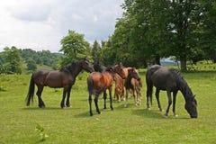 Vrije paarden op de weide tijdens de zomer Royalty-vrije Stock Foto's