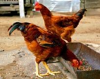 Vrije waaier openlucht gefokte kippen Stock Foto