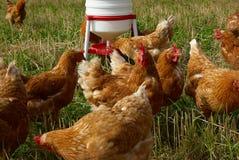 Vrije waaier organische kippen Stock Foto's