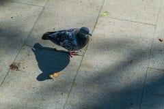 Vrije witte duif die langs straat lopen Royalty-vrije Stock Fotografie