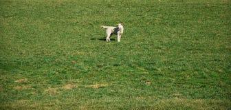 VRIJHEID: hond op het gazon Stock Foto