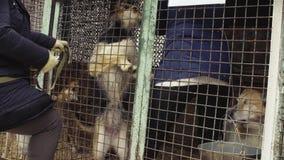 Vrijwilligers die de honden voor een gang nemen stock videobeelden