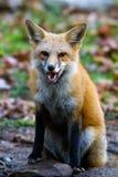 Vrille de Fox rouge Photo libre de droits