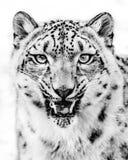 Vrille de léopard de neige Photographie stock libre de droits