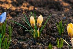 Vårkrokus blommar i en trädgård Arkivbild