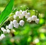 värld för vildmark för dal för liljanaturryss Fotografering för Bildbyråer