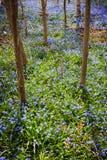 Vårängen med blått blommar härlighet-av--snö Arkivfoto