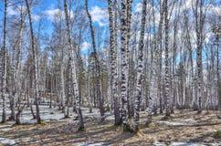 Vroeg de lente zonnig landschap in berkbos met smeltende sneeuw Royalty-vrije Stock Foto