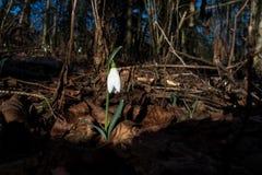 Vroeg sneeuwklokje in een hout in de winter Royalty-vrije Stock Afbeelding