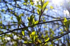 Vroege bladeren in de de lentezon stock foto