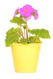 Primula Obconica Royalty-vrije Stock Afbeelding