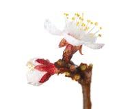 Vroege dauw op fruit-boom knop en bloesem Stock Afbeeldingen