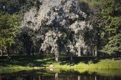 Vroege de herfst witte boom Stock Foto's