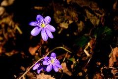 Vroege de lente violette bloemen in maart Royalty-vrije Stock Foto