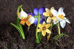 Vroege de lentebloemen Royalty-vrije Stock Afbeeldingen
