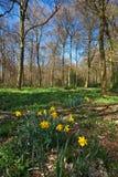 Vroege de lentegele narcissen in een bos Stock Foto