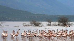 Vroege die ochtend van kleinere flamingo's wordt geschoten die op de oever van meerbogoria landen stock footage