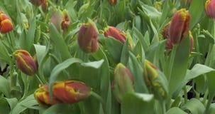 Vroege die tulpen in een serre worden gekweekt stock footage