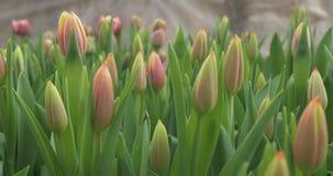 Vroege die tulpen in een serre worden gekweekt stock videobeelden