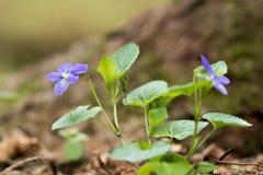 Vroege hond-violette Altvioolreichenbachiana in bos Royalty-vrije Stock Foto
