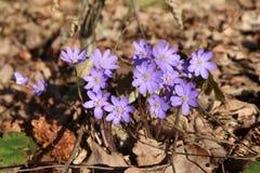 Vroege nobilis van Hepatica van de de lentebloem stock fotografie