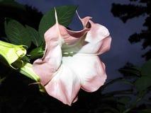 Vroege Ochtend Angel Trumpet Flower Stock Foto's