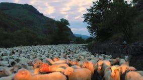 Vroege ochtend in de bergen van Georgië, gaat een kudde van schapen naar het weiland door weg stock videobeelden