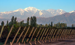 Vroege ochtend in de recente de herfstwijngaard, Mendoza Royalty-vrije Stock Fotografie