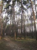Vroege ochtend in een bos van de Pijnboom Royalty-vrije Stock Foto
