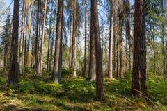 Vroege ochtend in het bos met dode sparren die zich nog bevinden Stock Foto's