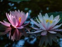 Vroege ochtend van waterlelie twee of lotusbloembloem Marliacea Rosea Roze en witte nymphaeasgloed met een duidelijke bezinning royalty-vrije stock afbeelding