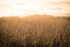 Vroege ochtendachtergrondafbeelding van rijstgewassen stock foto's