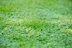Vroege ochtenddauw op gras en klaver abstracte achtergrond met s Royalty-vrije Stock Foto