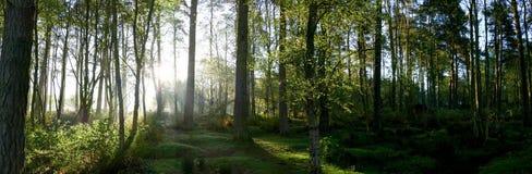 Vroege Ochtendmist Forest Panorama Royalty-vrije Stock Afbeelding