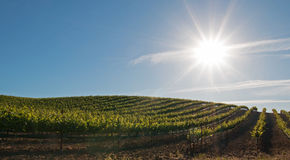 Vroege ochtendzon die op de wijngaarden van Paso Robles in de Centrale Vallei van Californië de V.S. glanzen Stock Afbeeldingen
