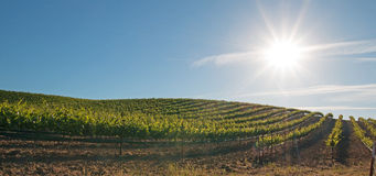Vroege ochtendzon die op de wijngaarden van Paso Robles in de Centrale Vallei van Californië de V.S. glanzen Stock Afbeelding