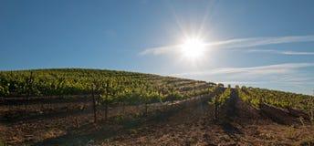 Vroege ochtendzon die op de wijngaarden van Paso Robles in de Centrale Vallei van Californië de V.S. glanzen Stock Foto