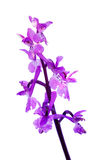 Vroege Purpere Orchidee - Orchis-mascula Stock Fotografie