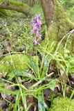 Vroege purpere orchidee stock foto's