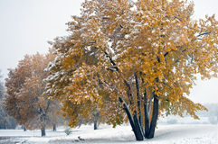 Vroege sneeuw op gele bladeren royalty-vrije stock foto