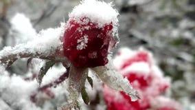 Vroege sneeuwdaling op rozen stock video