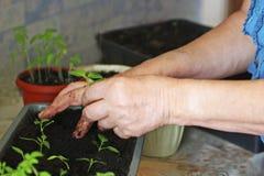 Vroege spruiten, peper die van zaden in dozen thuis op de vensterbank wordt gekweekt royalty-vrije stock foto's