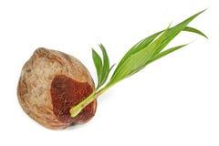 Vroege variëteiten van dwerg aromatische kokospalm, korter dan nr Royalty-vrije Stock Afbeeldingen