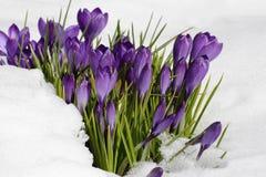 Vroegere de lentebloemen - krokussen onder de sneeuw in zonnige dag stock foto