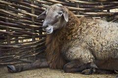 Vrolijk lam in een pen Stock Foto