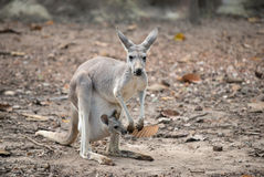 Vrolijke kangoeroe met joey Stock Foto's
