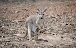 Vrolijke kangoeroe met joey Stock Fotografie