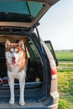 Vrolijke Siberische schor in de boomstam van de auto Portret rode schor hond die zich op de rand van de open boomstam bevinden stock afbeelding