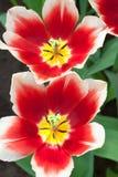 Vrolijke Tulpen in dichte omhooggaand Stock Foto's