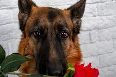 Vrolijke verwaande hond op een baksteenachtergrond Duitse herder met een boeket van bloemen royalty-vrije stock foto